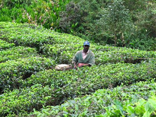 Munnar Tea Plantation Worker