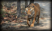18 Day Big Cats of India Tour