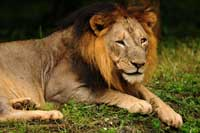 Asiatic Lion Sasan Gir India