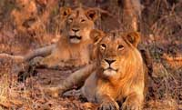 Asiatic Lions Sasan Gir India
