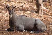 Indian Nilgai Blue Bull