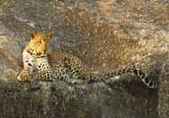 Leopard-Pali-District-Rajasthan-s