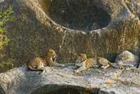 Leopards Lair Rajasthan India