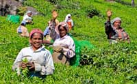 Munnar Tea Pickers