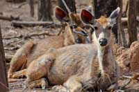 Sambar Deer Ranthambore India