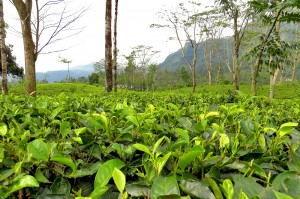 Sri-Lanka-Nuwara-Eliya-Tea-Plantations(1)