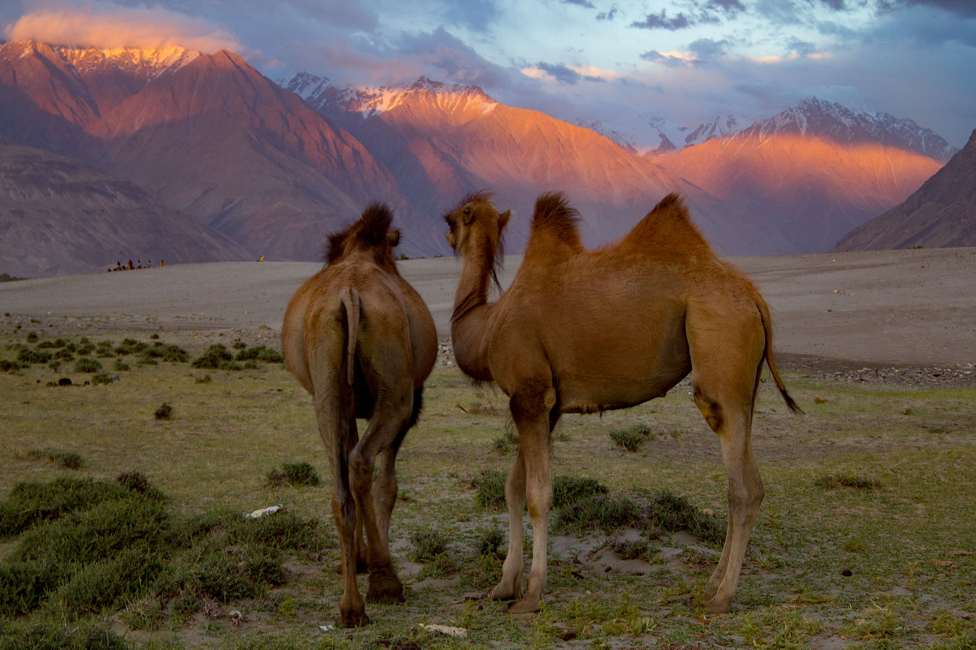 Bactrim Camels in the Nubra Valley
