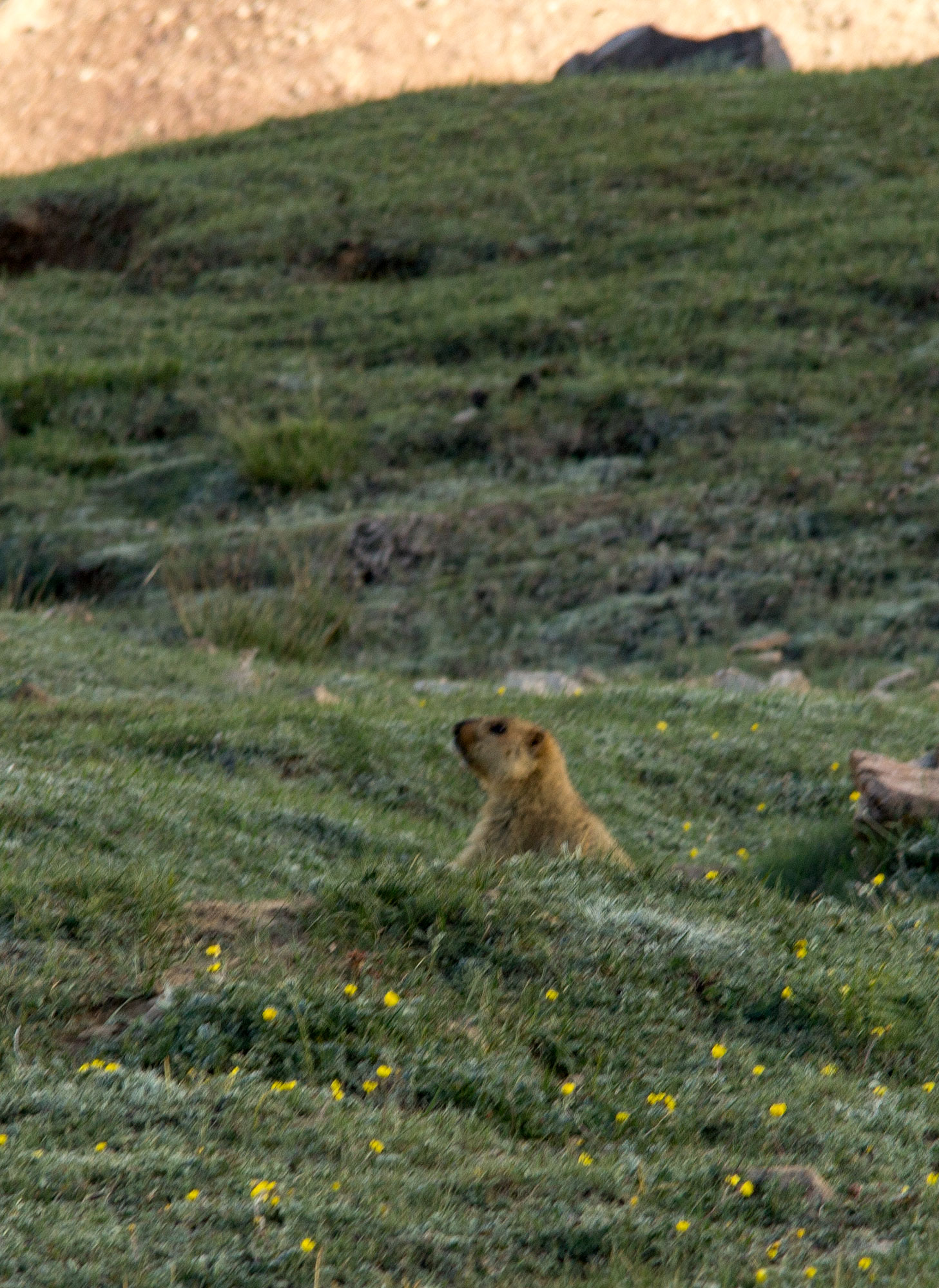 Marmots at Sarchu
